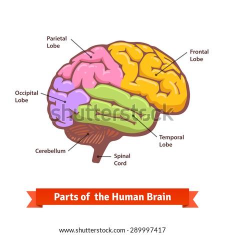 Human Brain Labeled Diagram