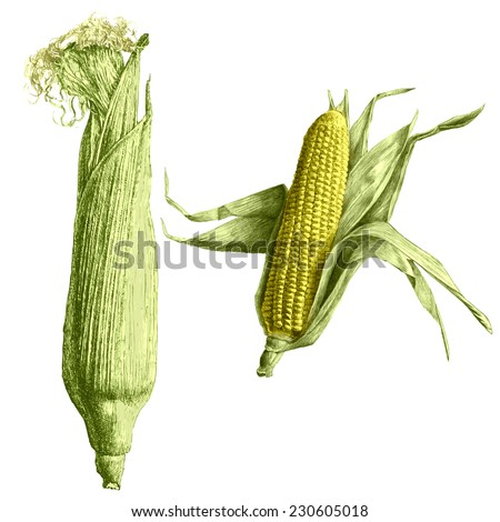 Colored  illustration with corn on a light background. Hand draw . - stock vector