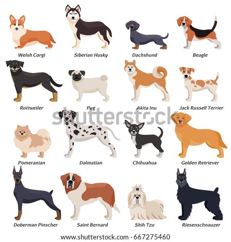 Colored purebred dogs icon set with welsh corgi Siberian husky Rottweiler Dalmatian akita inu breeds vector illustration