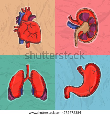 Colorful set of internal human organs as heart, kidney, lungs and stomach for Health and Medical.  - stock vector