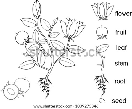 Coloring Page Parts Plant Morphology Flowering Stock Vector 2018