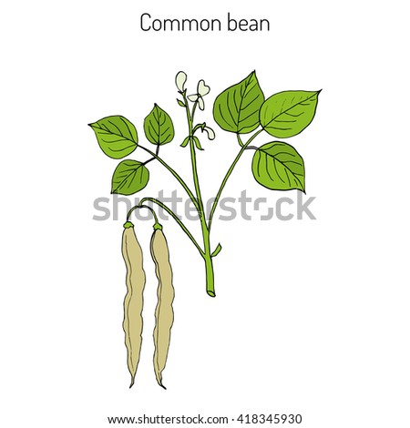 bean plant stock images royaltyfree images amp vectors