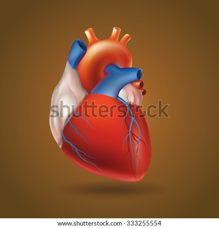 Conditional image of a model of the human heart (hollow muscular organ that pumps the blood through the circulatory system by rhythmic contraction and dilation).  - stock vector