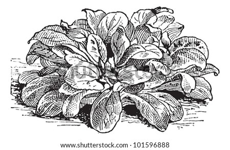Corn Salad or Valerianella locusta, vintage engraved illustration. Dictionary of Words and Things - Larive and Fleury - 1895 - stock vector