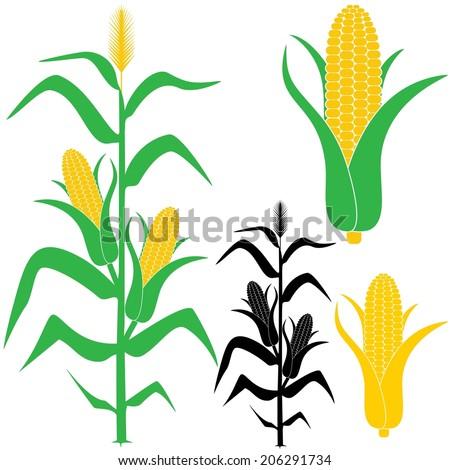 Corn Stalk Stock Image...