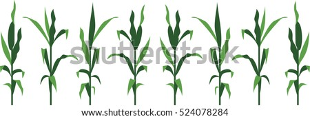 Corn Stems Vector Illustration isolated on White