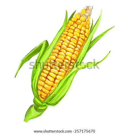 corncob vector illustration  hand drawn  painted watercolor - stock vector