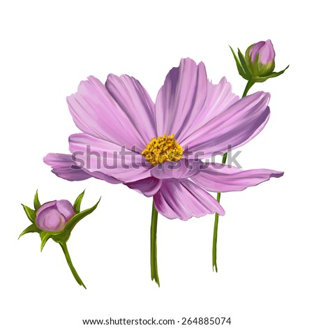 Cosmos flower  vector illustration  hand drawn  painted watercolor  - stock vector