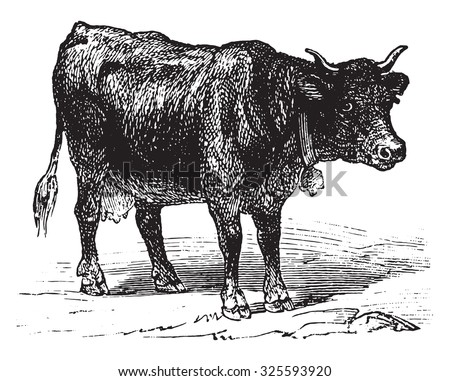 Cow, vintage engraved illustration. La Vie dans la nature, 1890. - stock vector