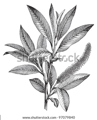 Crack Willow (Salix fragilis) male branch / vintage illustration from Meyers Konversations-Lexikon 1897 - stock vector