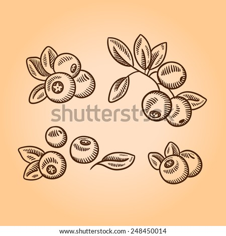Cranberries. Retro engraving style illustration. Hand drawn. - stock vector