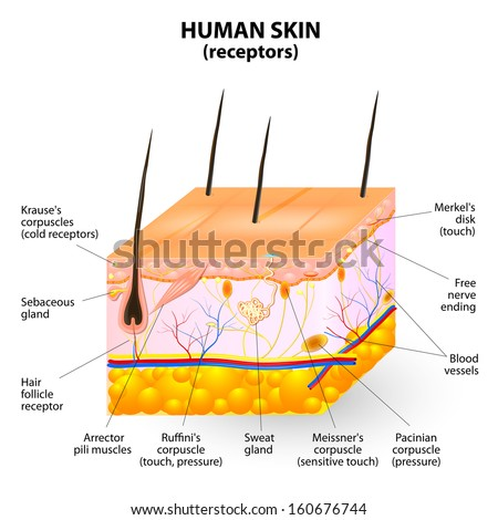 cross section human skin. Pressure, vibration, temperature, pain are transmitted via special receptory. 10 mm skin contains up to 2 receptors for heat, 12 for cold, 50 for pressure and 200 for pain.  - stock vector