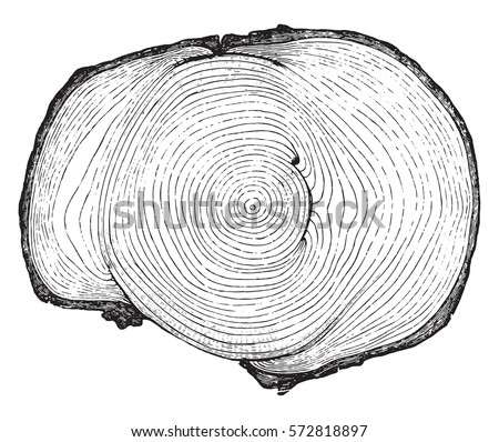 Cross section of a tree trunk presenting three injuries are wild animals, more or less completely healed, vintage engraved illustration.