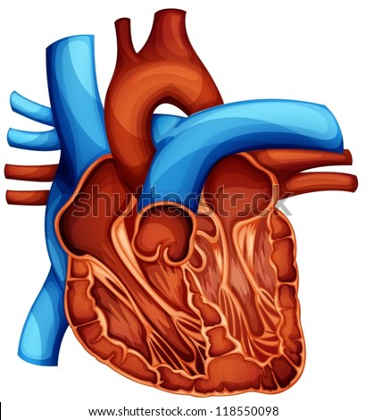 Cross section of the human heart - stock vector