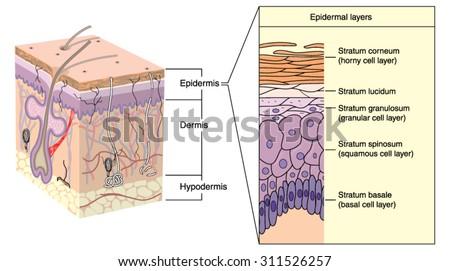 epidermis stock images, royalty-free images & vectors | shutterstock, Cephalic Vein