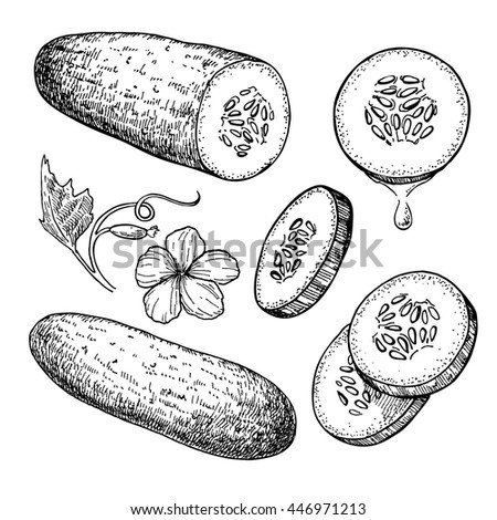 Cucumber hand drawn vector set. Isolated cucumber, sliced pieces and plant. Vegetable engraved style illustration. Detailed vegetarian food drawing. Farm market product.