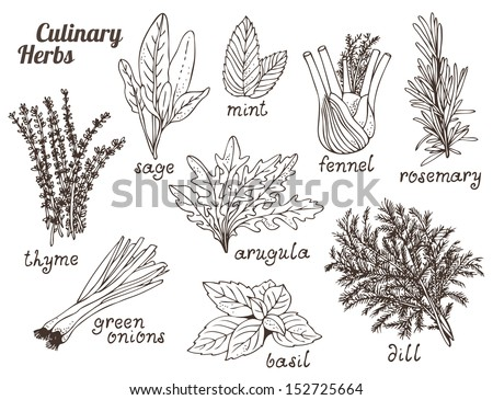 Culinary herbs on a white background, hand drawn set - stock vector