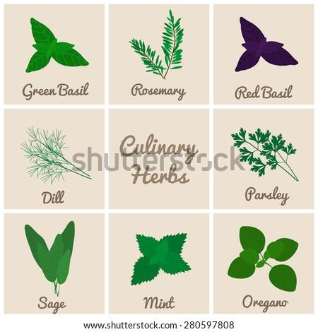 Culinary herbs set. Green basil, rosemary, red basil, dill, parsley, sage, mint, oregano. - stock vector