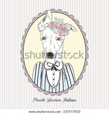 Italian Greyhound Stock Images, Royalty-Free Images & Vectors ...