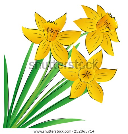 Daffodil drawing isolated on white - stock vector