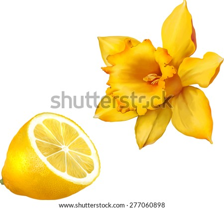 Daffodil flower or narcissus,  isolated on white background cutout - stock vector