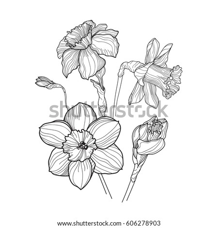 daffodils narcissus flowers in contour line style vector outline floral collection isolated on