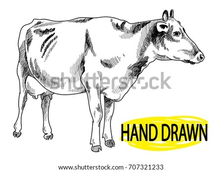 Dairy Cow Drawing By Hand In Vintage Style Big Udder Milk Farm