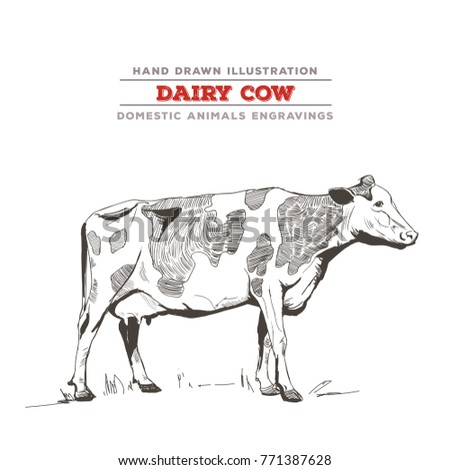 Dairy cow side view