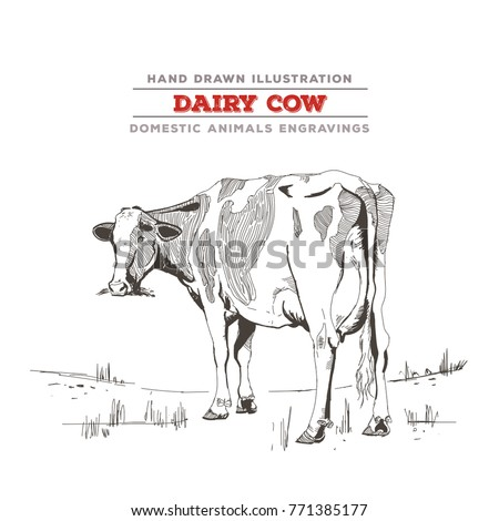 Dairy Cow Whole Body Illustration Hand Drawing With A Vintage And Realistic Feel