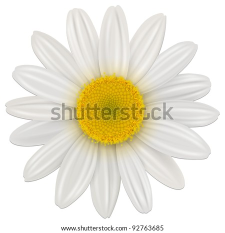 Daisy, chamomile flower isolated; vector.