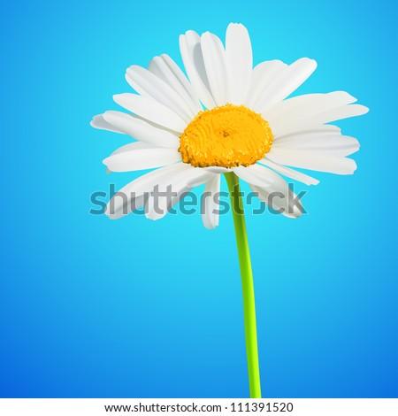 Daisy flower vector background. Chamomile blossom illustration - stock vector