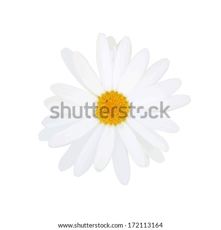 daisy isolated on a white background. Vector - stock vector