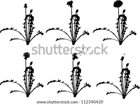 dandelion flowers from beginning to senility isolated on white background - stock vector