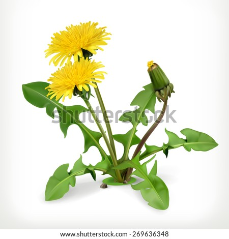 Dandelion flowers, vector icon - stock vector