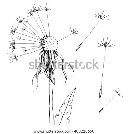 dandelion sketch, ink floral ornament with flowers dandelion and leaves, hand drawing blowball, isolated on white background, vector illustration - stock vector