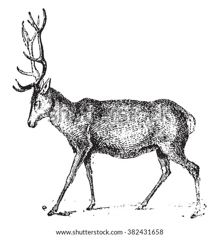 Deer, vintage engraved illustration. Dictionary of words and things - Larive and Fleury - 1895.  - stock vector