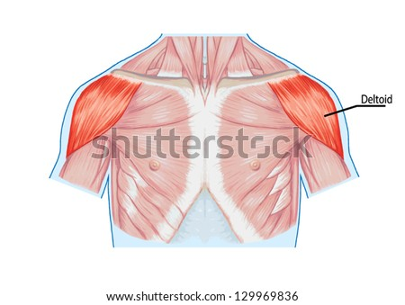 Deltoid Muscle Shoulder Muscles Chest Thorax Stock Vector (2018 ...