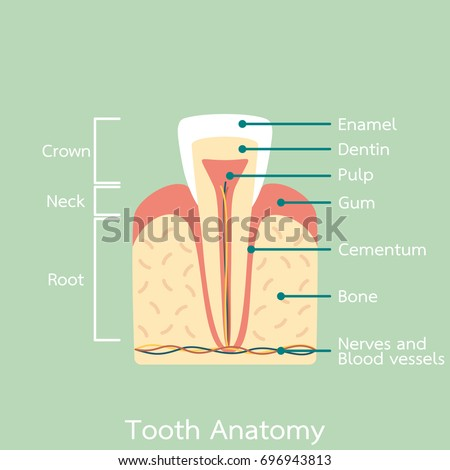 Teeth Diagram Labeled Cartoon Wiring Diagram For Light Switch