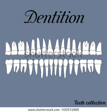 Dentition teeth - incisor, canine, premolar, molar upper and lower jaw. Vector illustration for print or design of the dental clinic - stock vector
