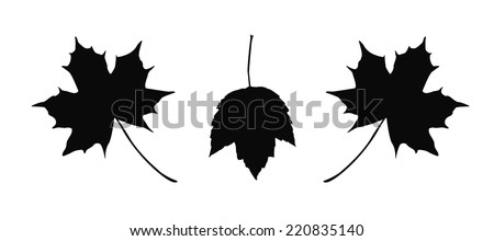 Detailed maple leaves illustration isolated on white background