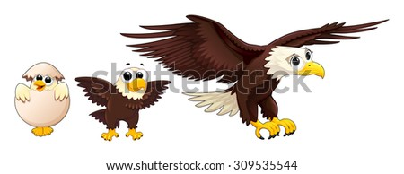 Development of an eagle at different ages. Vector isolated characters. - stock vector