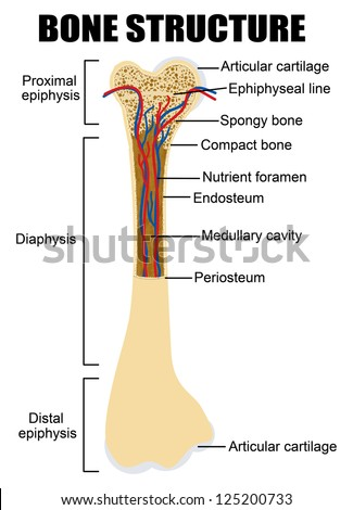 Diagram of human bone anatomy (useful for education in schools and clinics ) - vector illustration