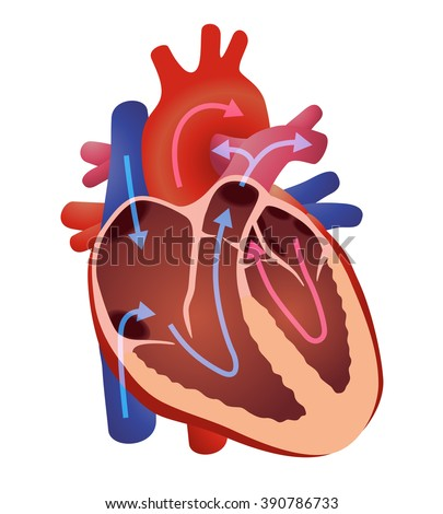 Diagram human cardiac structure heart vector stock vector royalty diagram of human cardiac structure the heart vector illustration ccuart Images