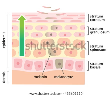 Diagram Skin Cell Turnover Stock Vector Royalty Free 433601110