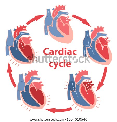 Diagram Phases Cardiac Cycle Circulation Blood Stock Vector