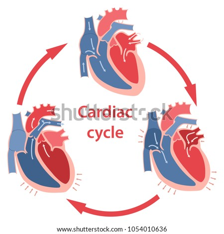 Diagram Phases Cardiac Cycle Circulation Blood Stock Photo Photo