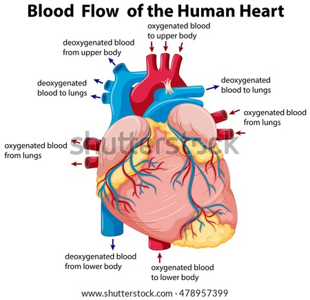 Diagram of english in the heart electrical work wiring diagram diagram showing blood flow human heart stock photo photo vector rh shutterstock com heart diagram grade ccuart Image collections