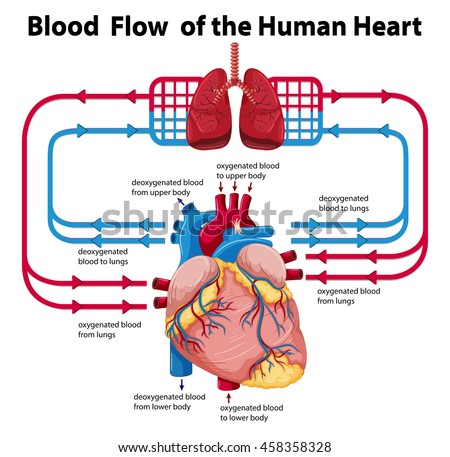 blood flow human heart illustration stock vector 444568360, Muscles