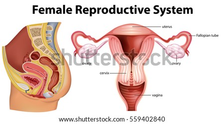 Diagram showing female reproductive system illustration stock vector diagram showing female reproductive system illustration ccuart Image collections