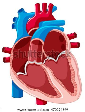 Diagram showing inside human heart illustration em vetor stock diagram showing inside of human heart illustration ccuart Choice Image